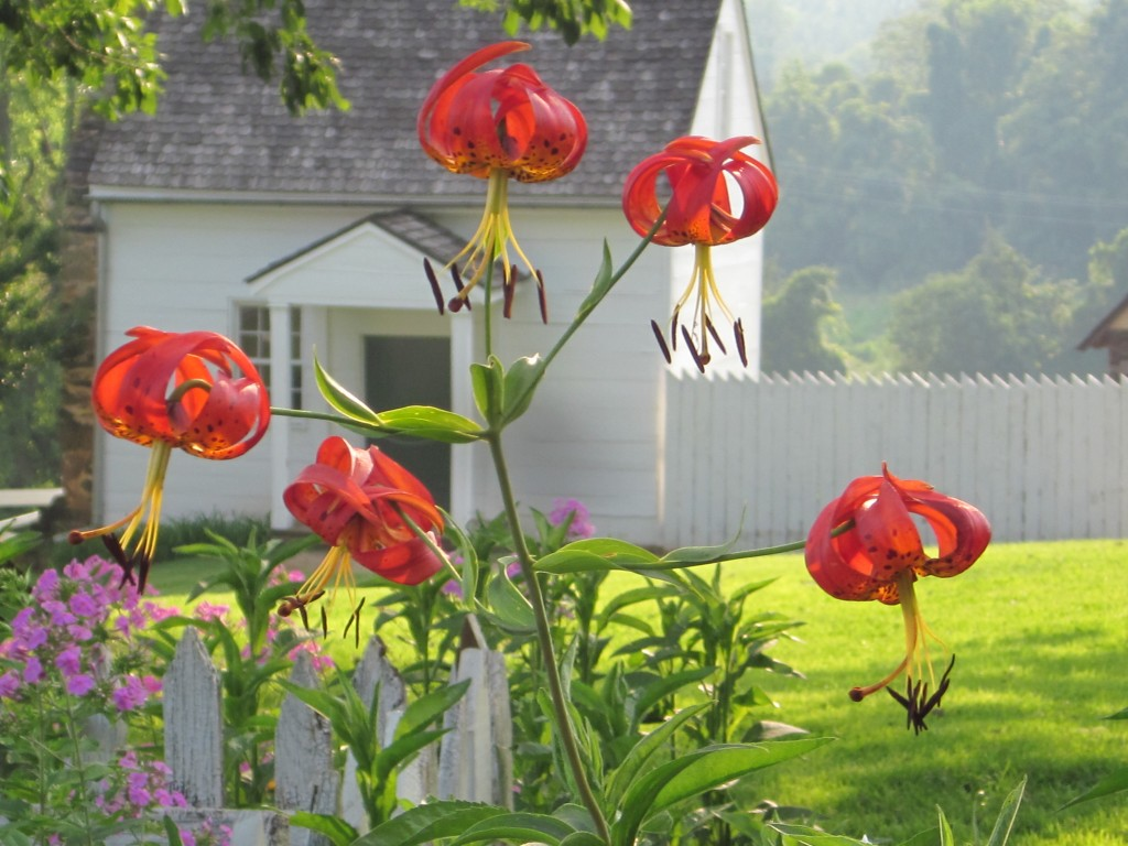 turk's cap lilies and overseers cottage