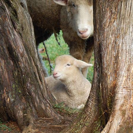 AL-H Lamb Hiding 032016 Square