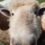Sheep Closeup