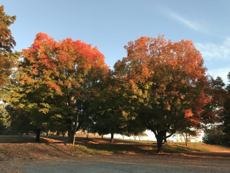Maple trees with fall color