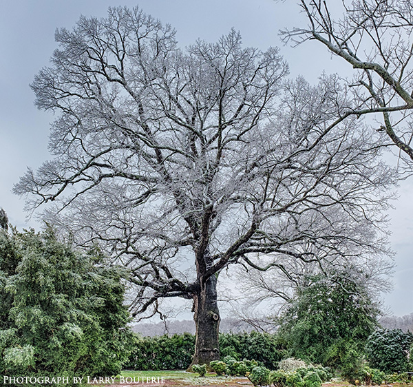 300 year old oak tree in the snow