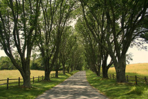 Driveway lined with ash trees